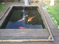 Koi carp between 6lbs and 8lbs in weight, all healthy looking good, clearing pond for new project