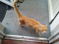 Ginger female cat found