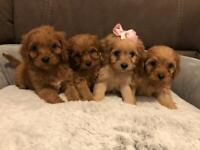 F1 Cavapoo puppies for sale