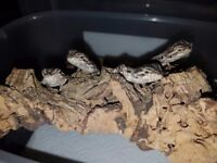 Baby bearded dragons for sale £20 each only 3 left