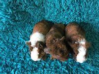 Beautiful teddy guinea pig babies for sale