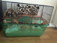 Syrian hamster very tame with cage and accessories