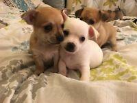5 beautiful puppies 3/4 chihuahua £350 o.n.o