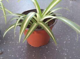 Spider Plants Needing a Home!
