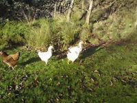 Sussex Chicks x 2