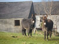 3 donkeys for sale about 1 year old 2 male 1 female