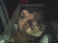 2 baby male guniea pigs. with cage and food. fluffy ones