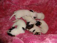 Miniature Jack Russell Puppies x 6