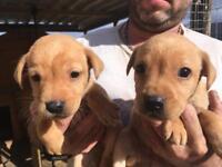 Dark Yellow/Fox Red Labrador Pups