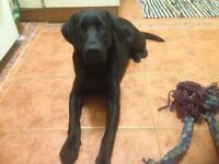 Beautiful Black Labrador Six Months Looking For Forever Home