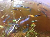 Free tropical fish. Guppy, Molly & 3 Tetra