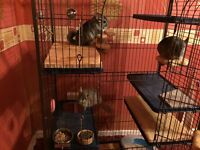 Absolutely lovely 3 x Chinchillas *brothers* + big cage + accessories