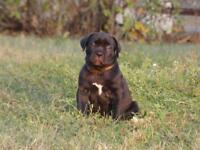 Female Cane Corso Puppy