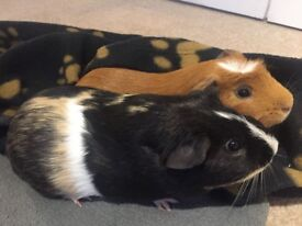 Super Cute Guinea Pigs - 2 boys, 6 months old, raised together since birth