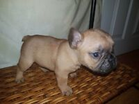 Show quality French Bulldog puppies for sale!