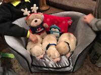 5 absolutely gorgeous akita/husky pups