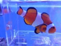 Female wild clownfish