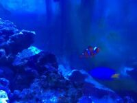 Marine saltwater Clown fish, aquarium, tank,coral