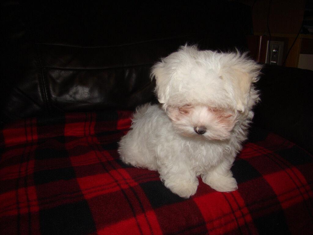 Pedigree Maltese Pup 1 boy. For Sale.