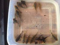 8x wc breeding group l260 queen arabesque