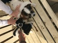 Jack russell X chiwawa puppies for sale