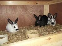 English rabbits £10 each, and Hutch £49.