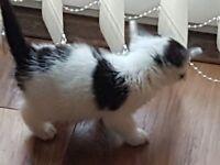 Beautiful female kitten, Ready 29th March.