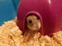 Dwarf hamsters for adoption