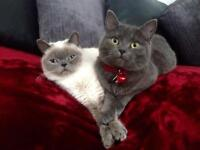 Beautiful Grey British Shorthair Cat Spayed Manchester