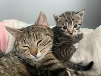 Gorgeous tabby kittens for sale