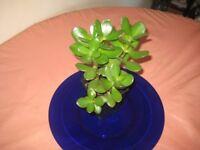 50% OFF! healthy succulent Money / Jade plant (Crassula ovata) indoor plant