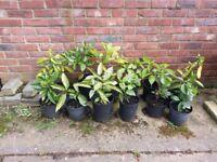 LAUREL BUSH PLANTS/HEDGING