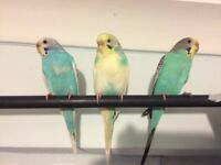 3 Female Budgies Sold Separately or Together