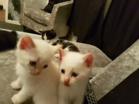 Kittens fir sale
