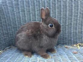 Netherlands Dwarf Rabbits for sale