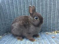 Netherlands Dwarf Rabbits for sale