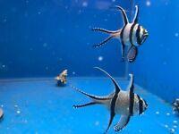 Banggai cardinalfish Pterapogon kauderni marine tropical reef fish Tank aquarium