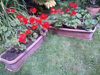 geranium or pelargonium plants with boxes or planters £20 per box