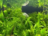 Aquarium plant Java fern minor