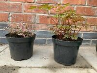 Pink astilbe and Jacobs ladder plants,perennials,fully hardy.