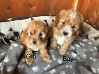 Cockapoo puppies all sold