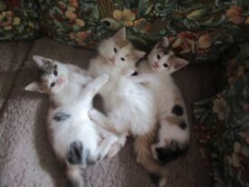 9 weeks old mainecoon cross kittens ready to go.