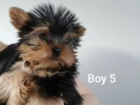 Beautiful Pure Yorkshire Terrier puppies