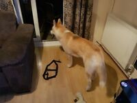 Atika cross husky puppy for sale