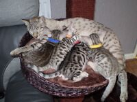 Silver Spotted Female Bengal Kitten