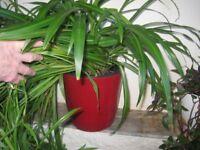 50 % OFF! large healthy trailing indoor Spider plant (Chlorophytum)