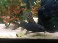 Fish 2x juvenile catfish
