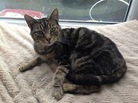 beautiful male tabby cat