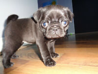 Stunning Gorgeous Black Pug Puppy