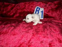 bichon frise pure white puppies